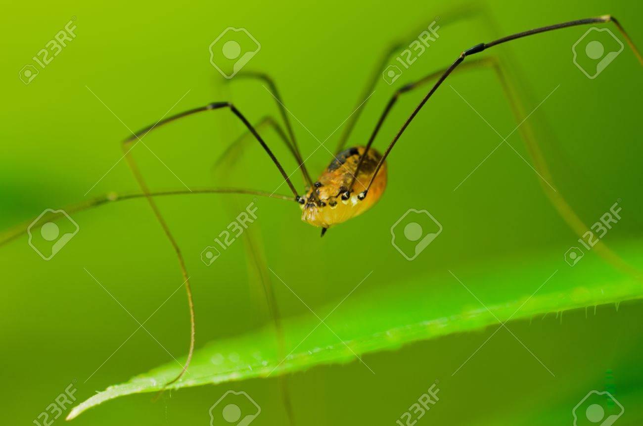 Spider - Opilione - Phalangium opilio Stock Photo - 15178146