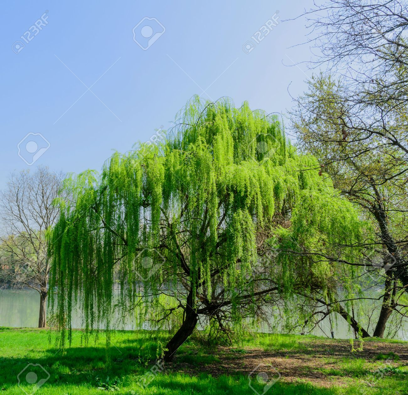 Salix babylonica 1 plant in vase picture weeping willow by Beijing