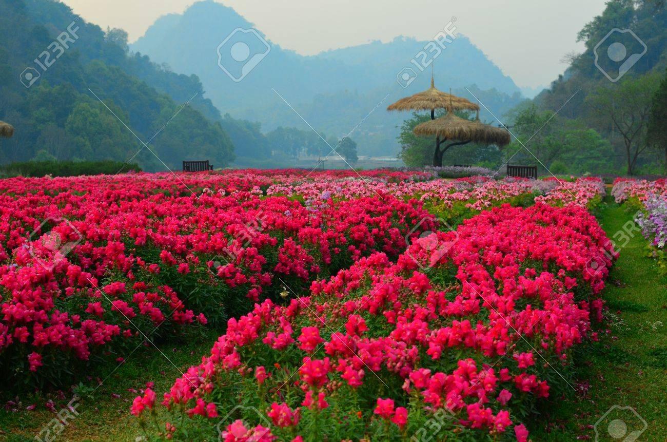 Fleur de jardin d\'hiver, Thaïlande