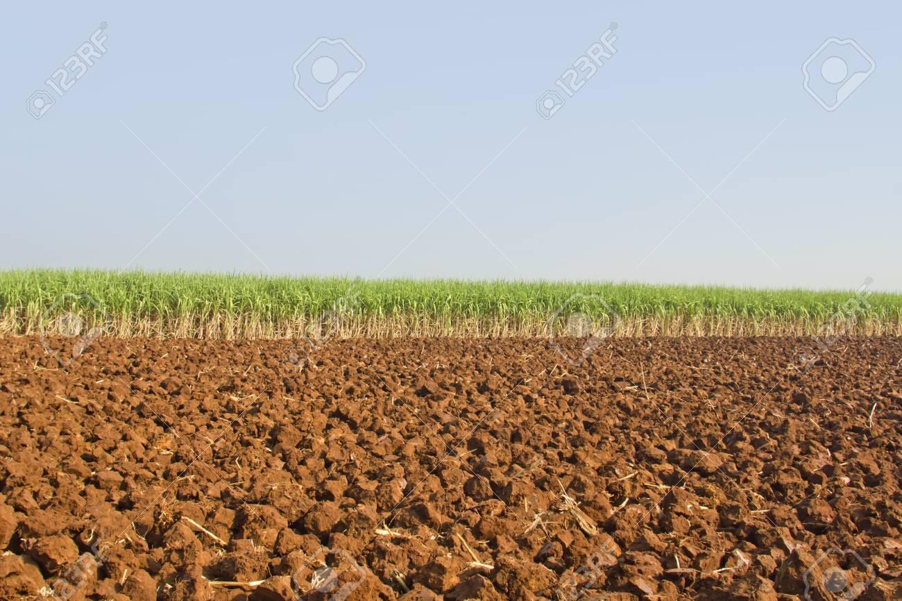 Sugarcane in Thailand Stock Photo - 8697143