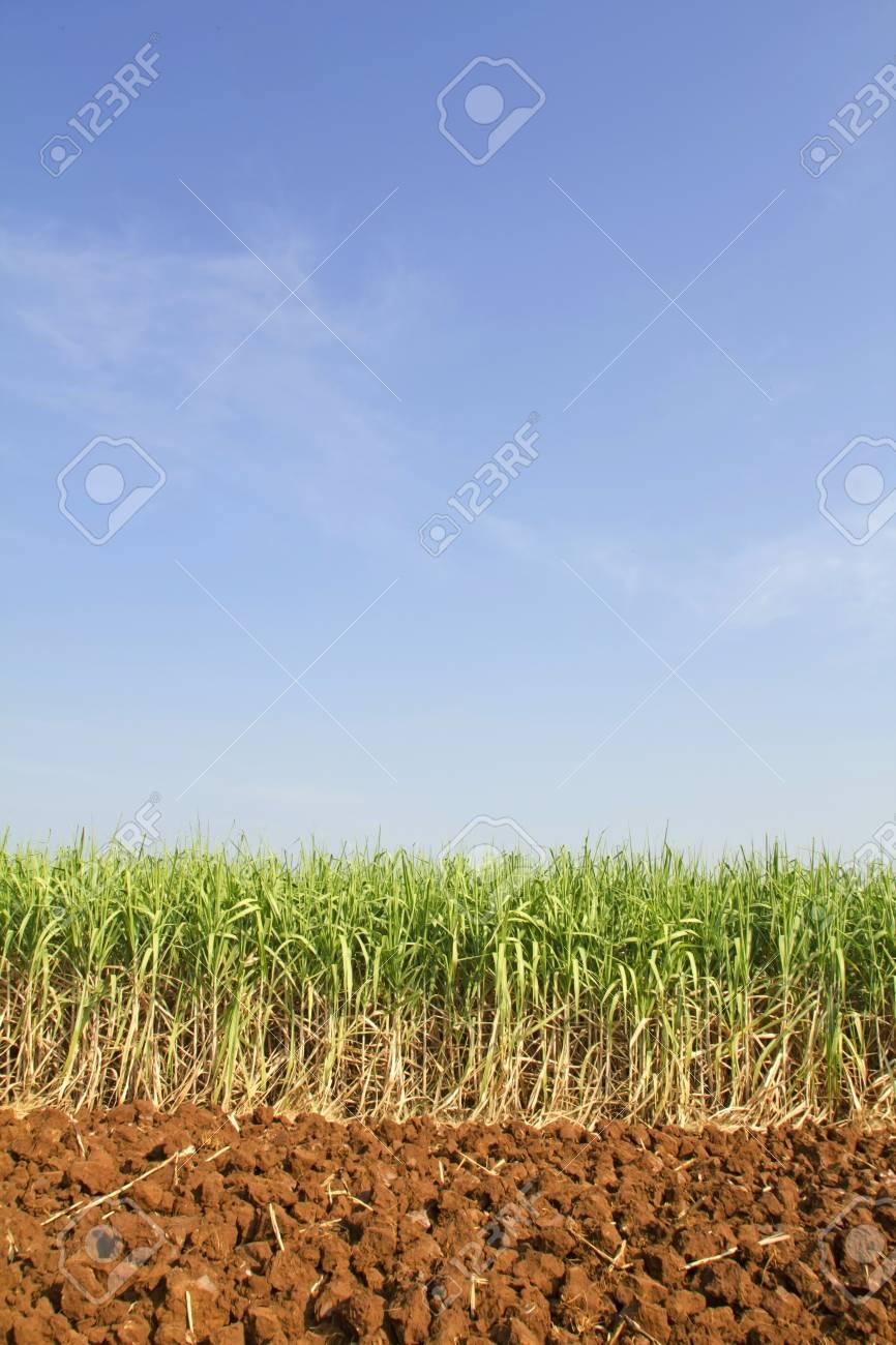 Sugarcane in Thailand Stock Photo - 8697138