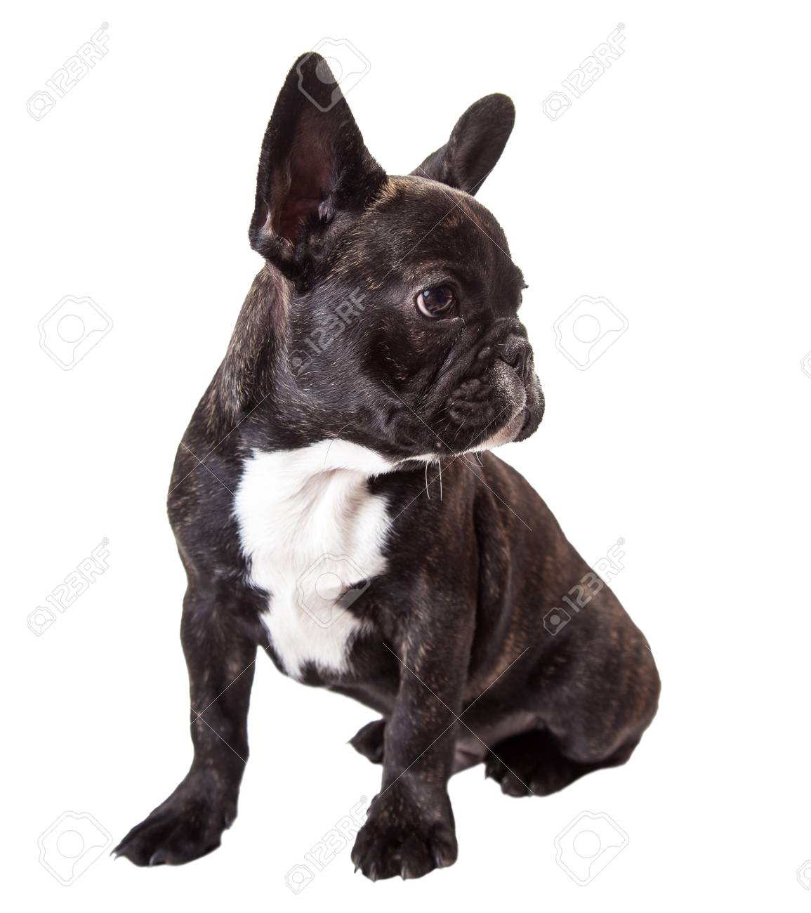 Baby French Bulldog Isolated On A White Background Stock Photo