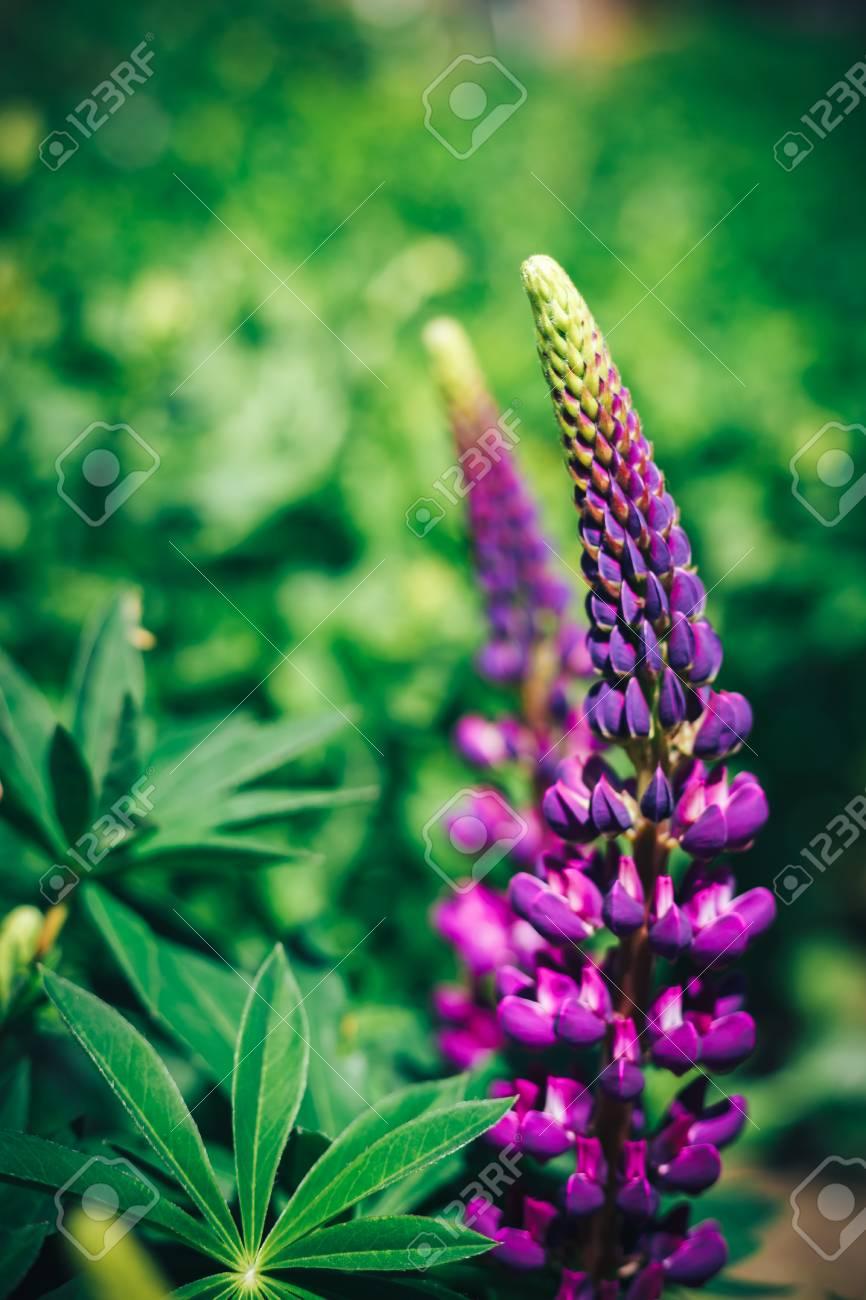 Veronica Dinality Fleur D Ete Bleu Pourpre Plante Vivace Avec De