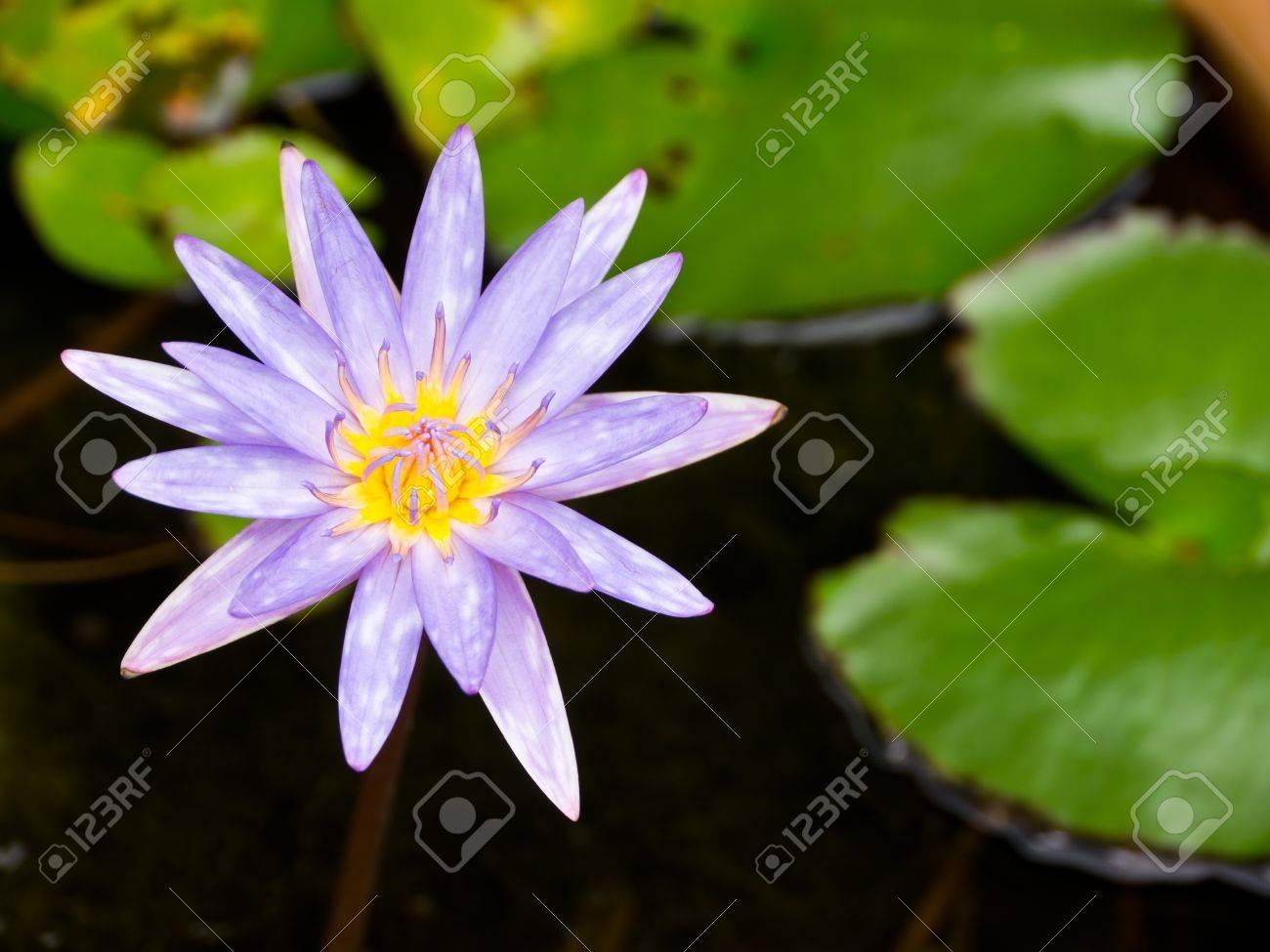 Islamorada, Blue water lily in pond Stock Photo - 13851127