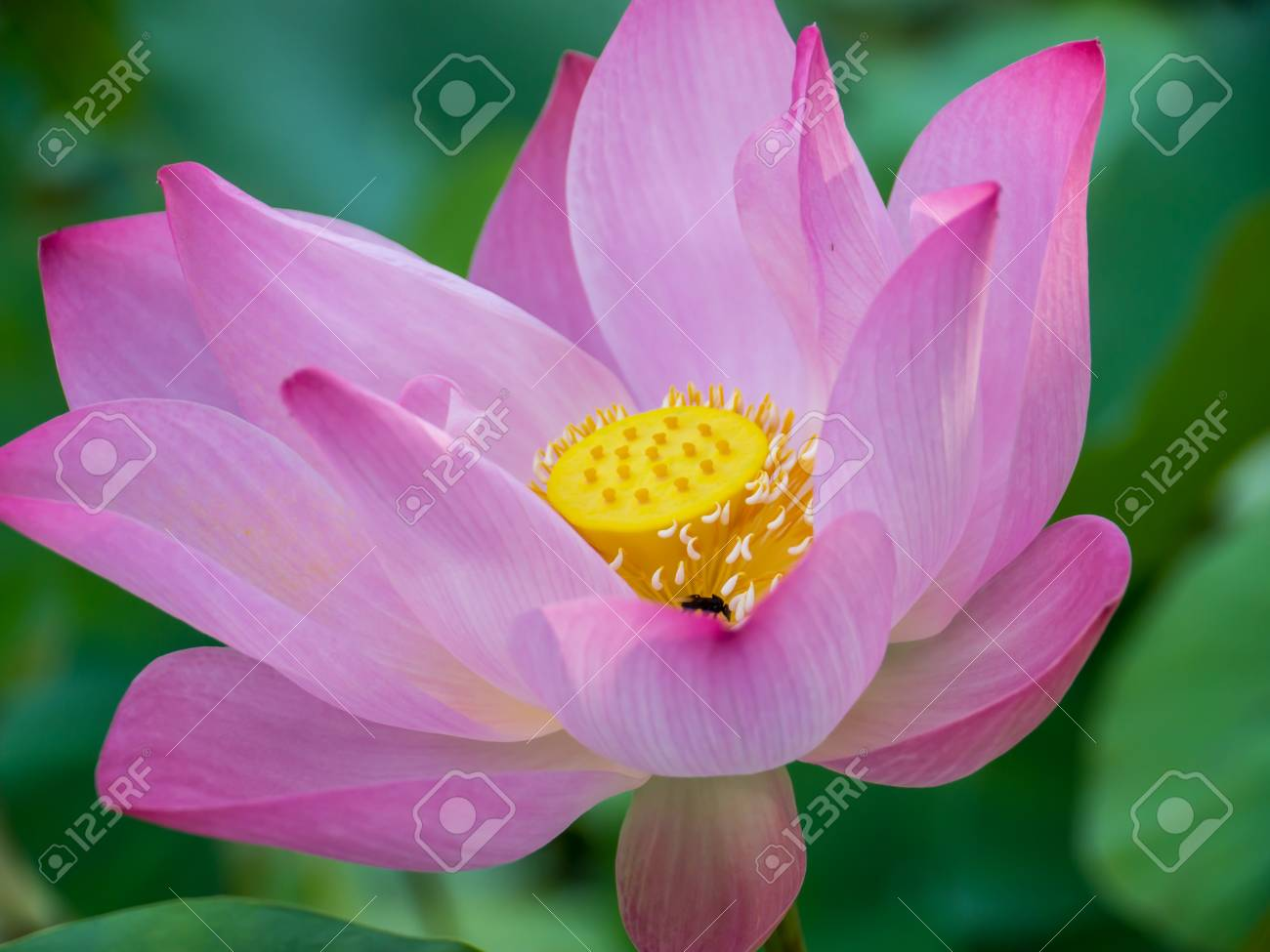 Lotus Flower In Natural Pond Stock Photo Picture And Royalty Free