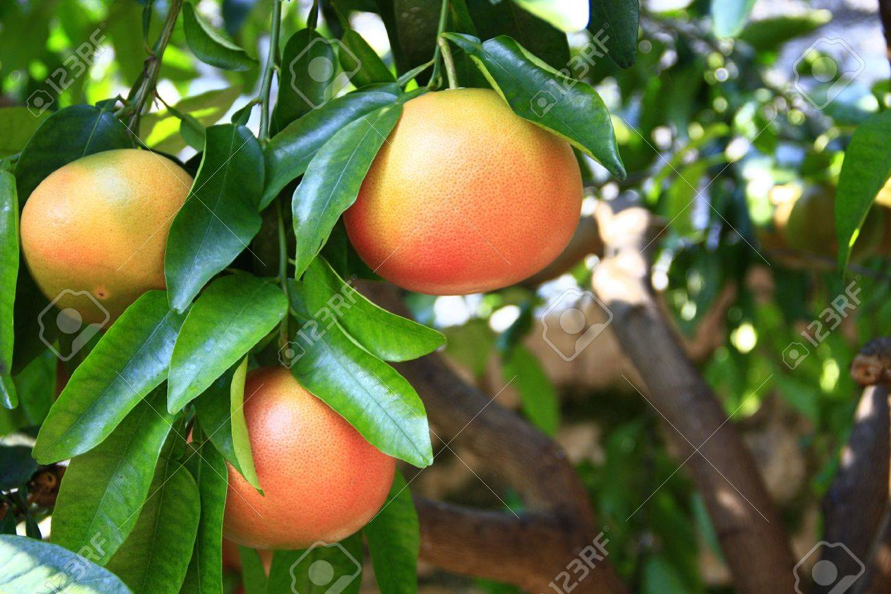 Ripe Grapefruit Fruits On The Tree Stock Photo, Picture And Royalty Free  Image. Image 13275690.