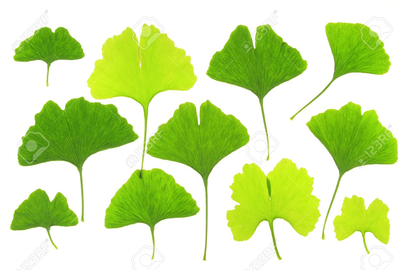 ginkgo leaves before a white background stock photo picture and