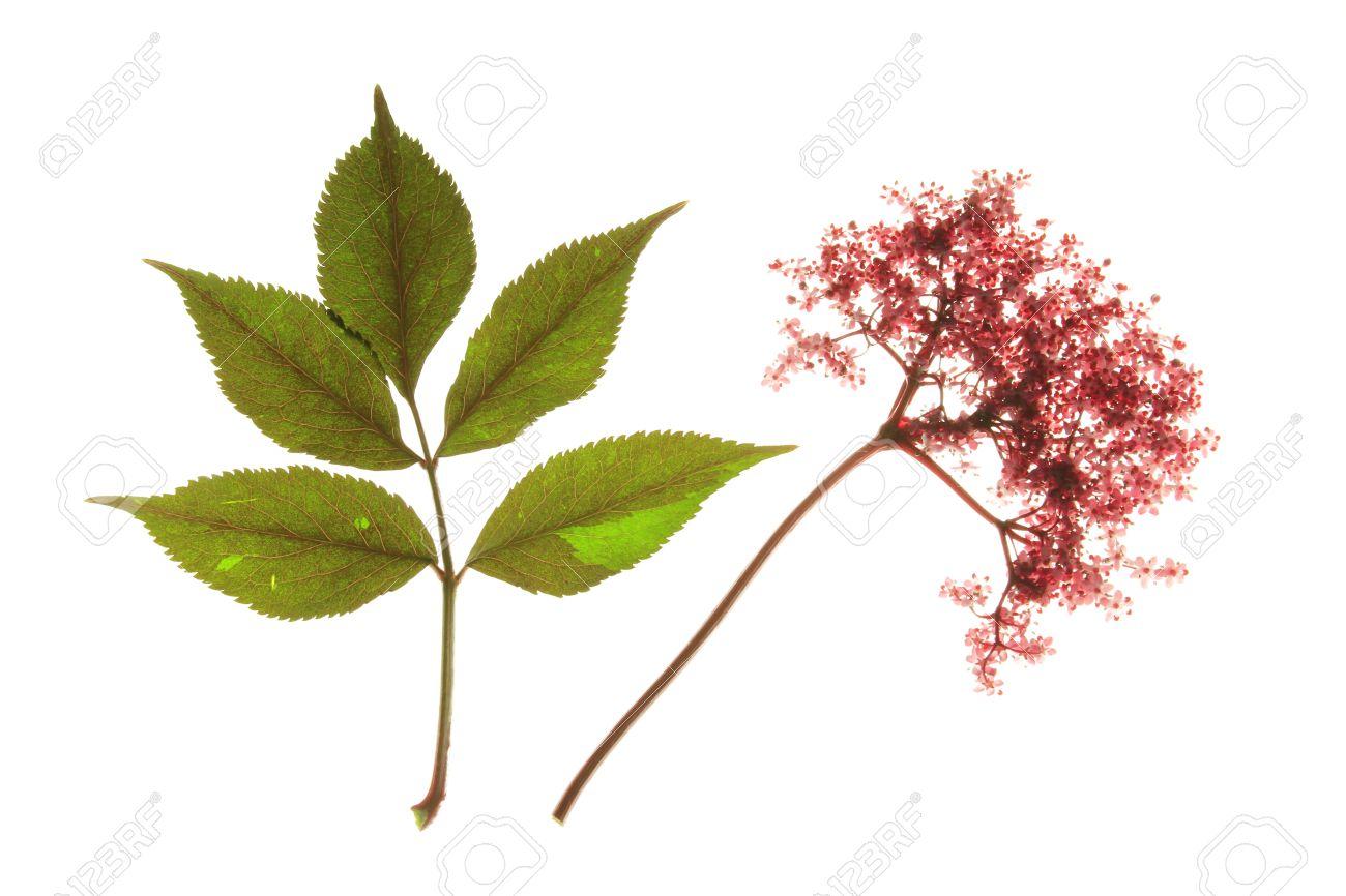 rouge floraison sureau noir sambucus nigra, avec des fleurs et des