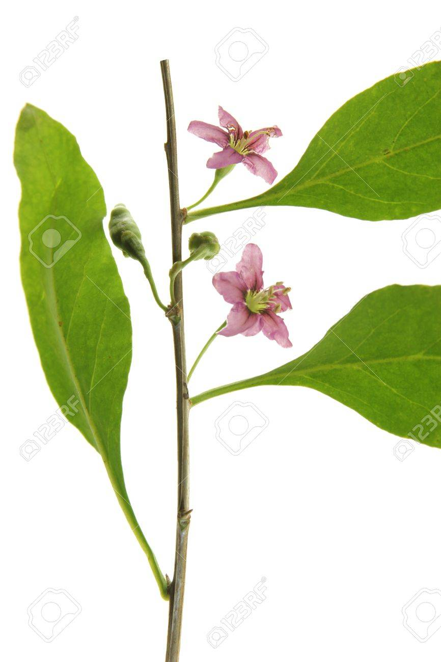 Twig With Leaves And Flowers Of The Goji Berry Or Wolfberry