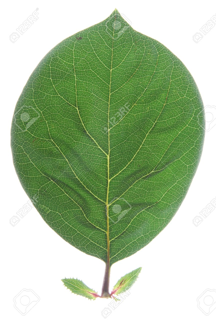 one leaf of quince  Cydonia oblonga  isolated in front of white background Stock Photo - 15220813