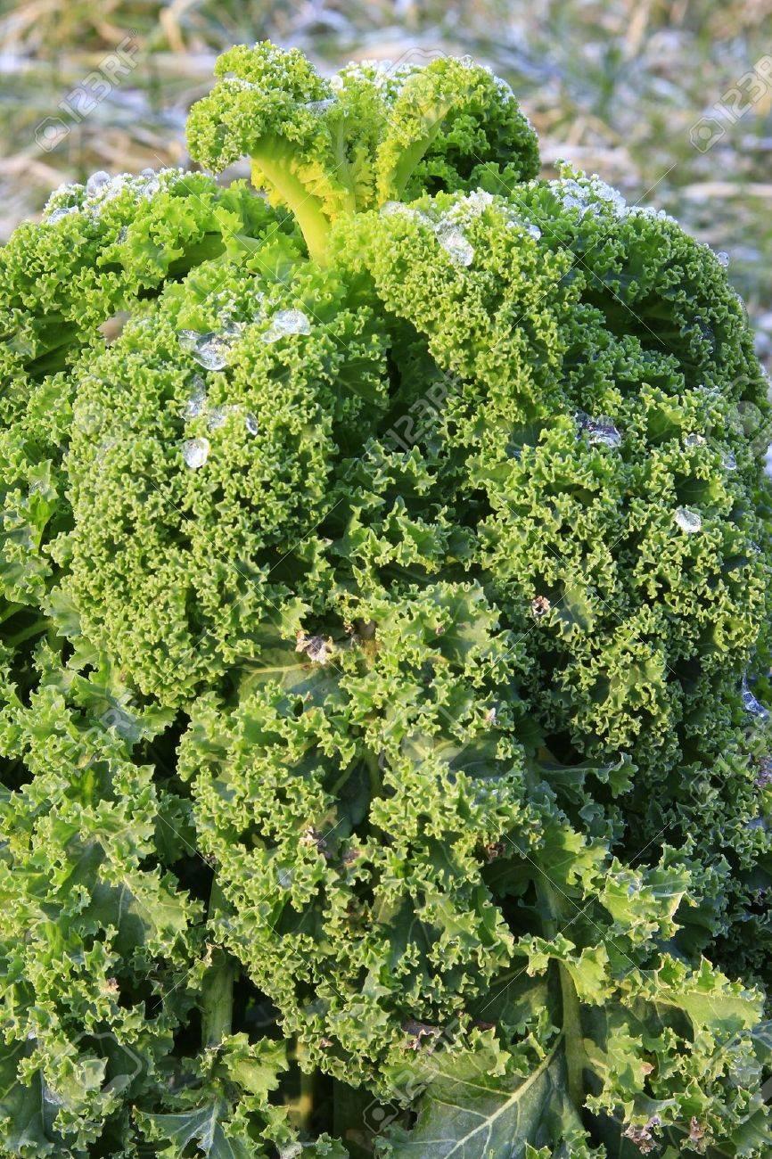 Green Cabbage Brassica Oleracea Var Sabellica In Winter In The Garden Patch  Stock Photo   16477133