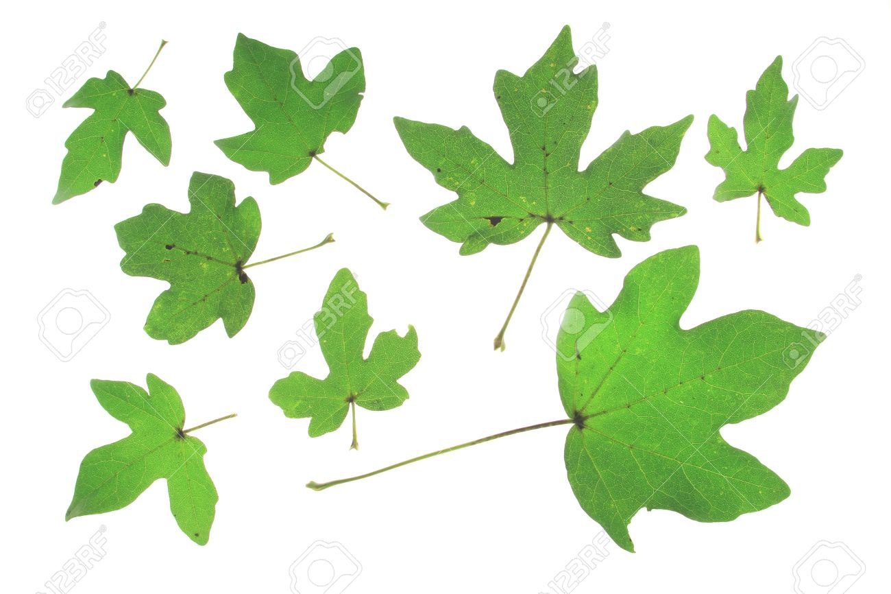 Field Maple Acer Campestre Different Leaves Isolated Against