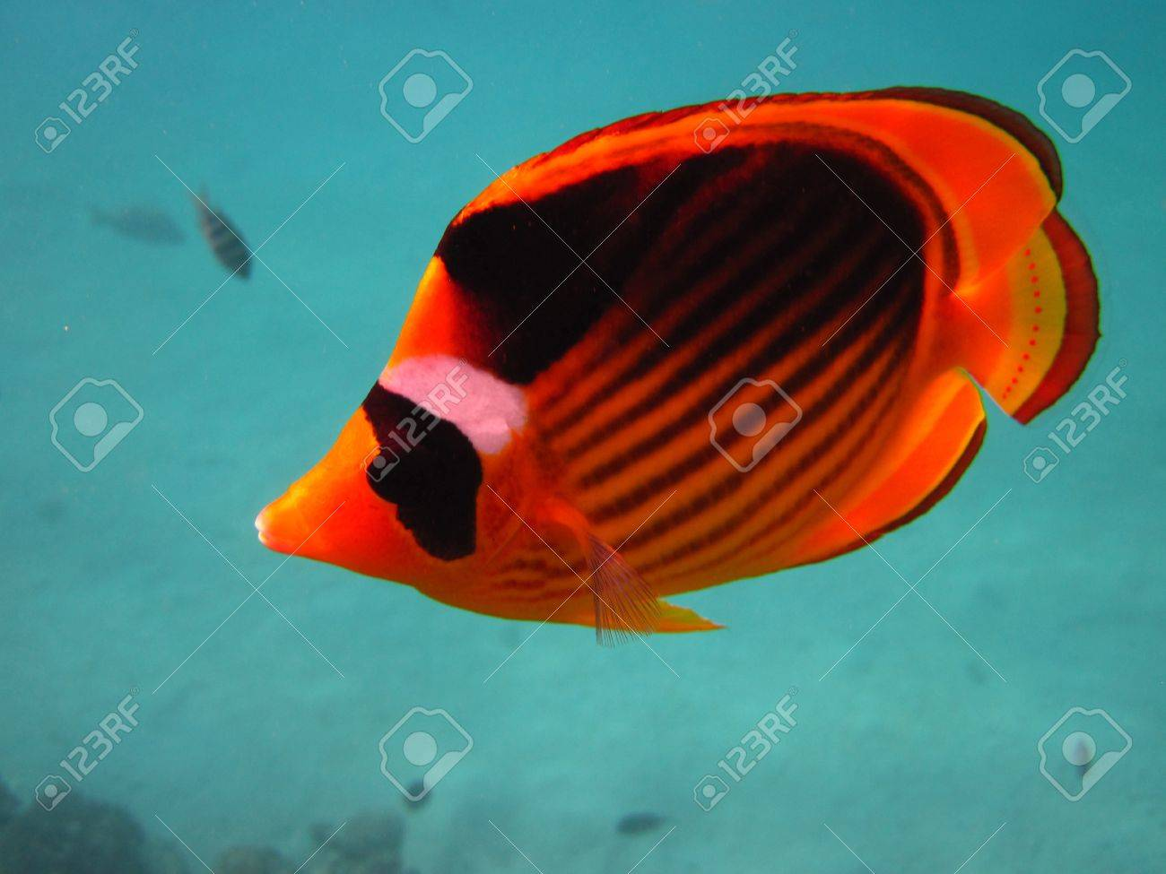 Yellow And Black Butterfly Fish Stock Photo, Picture And Royalty ...
