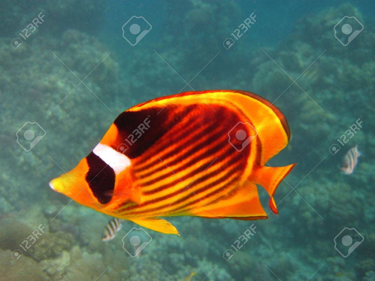 Yellow And Black Butterfly Fish In Egypt Stock Photo, Picture And ...