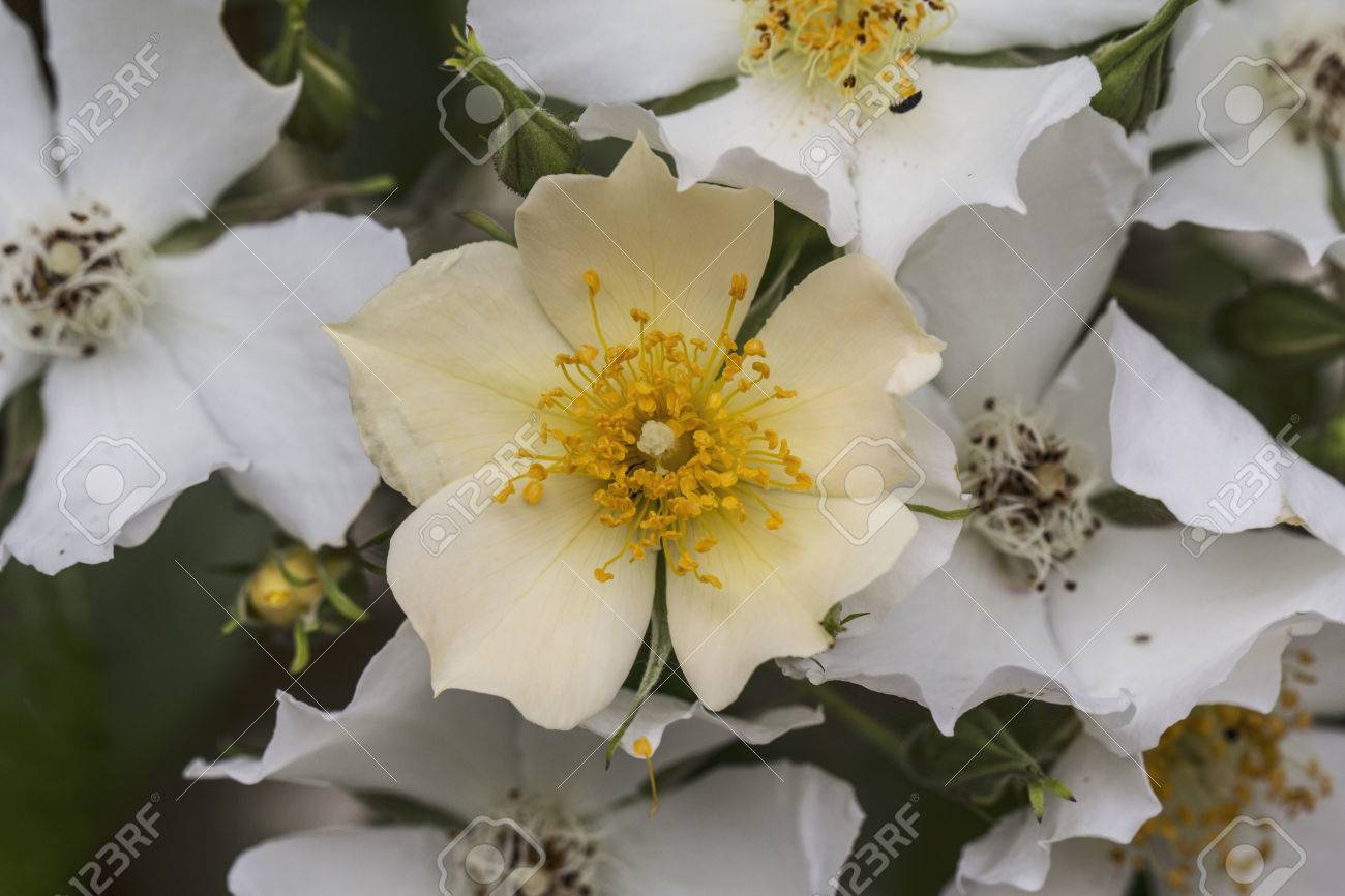 Macro Photo Of A Pretty White And Pale Yellow Rose Bush Flower
