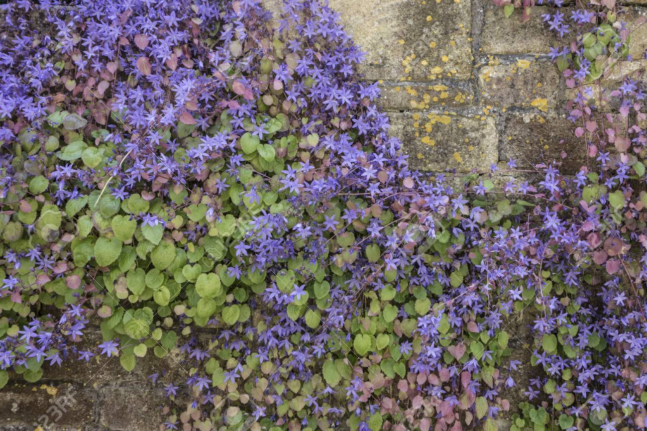 Small Purple Flowers Growing On A Wall In Bath Uk Stock Photo