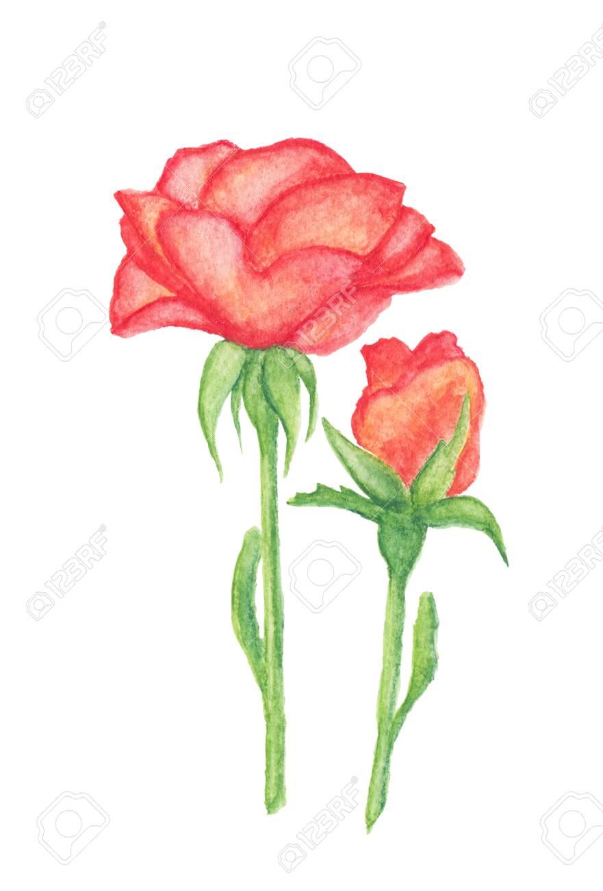 Orange Rose Et Le Bourgeon Crayons Aquarelle Dessin Isole Sur Blanc