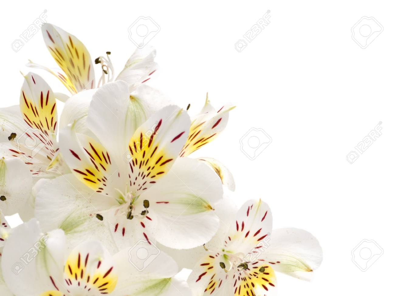Tender white and yellow alstroemeria flowers in the corner isolated tender white and yellow alstroemeria flowers in the corner isolated on white stock photo 53828087 mightylinksfo Gallery