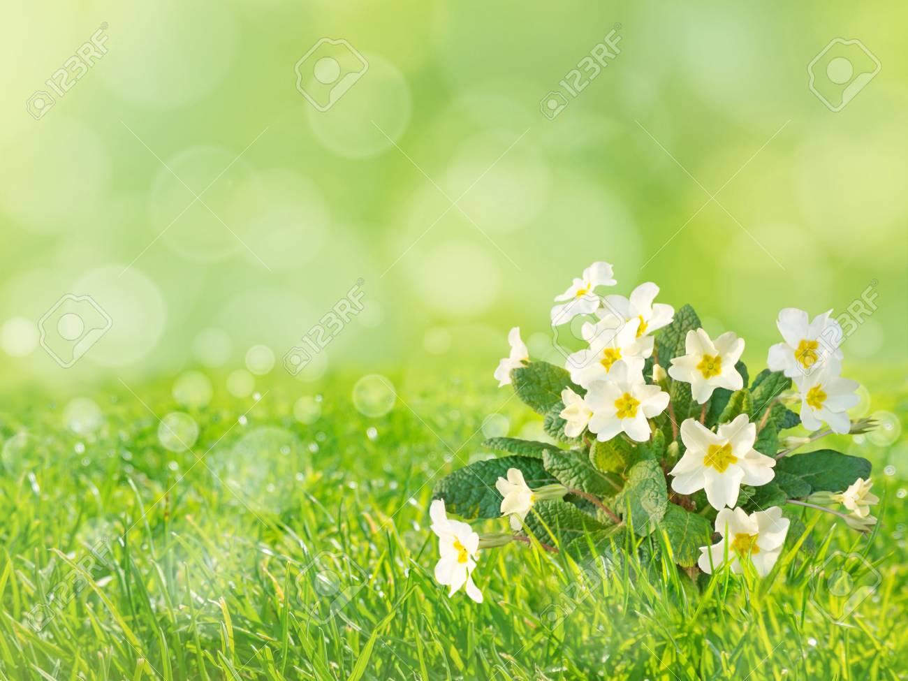 Primrose or primula vulgaris pale yellow flowers on the spring primrose or primula vulgaris pale yellow flowers on the spring blurred grass lawn background stock photo mightylinksfo