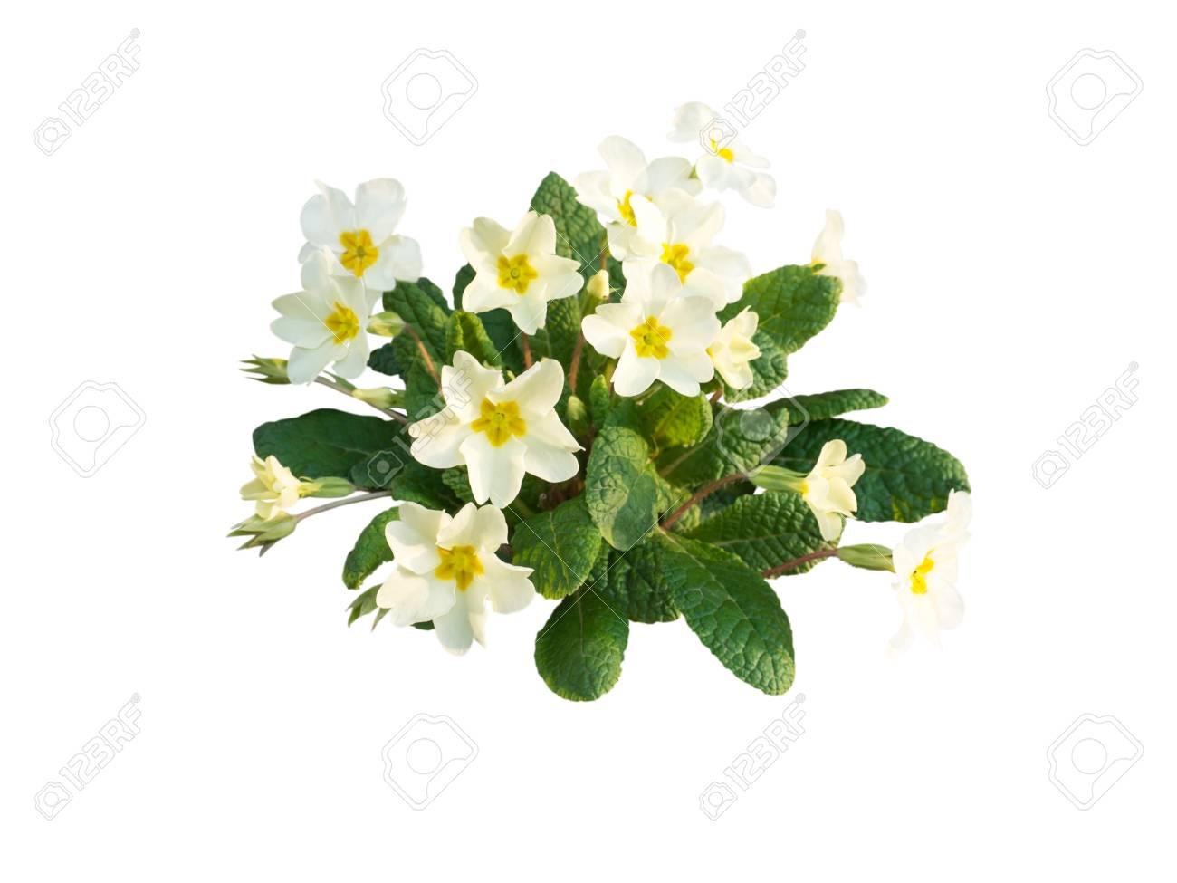 Primula vulgaris or primrose pale yellow flowers isolated on stock primula vulgaris or primrose pale yellow flowers isolated on white stock photo 98922347 mightylinksfo