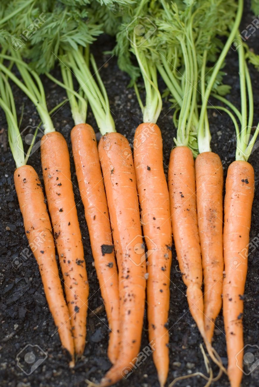 A Row Of Carrots Fresh From The Garden Stock Photo Picture And