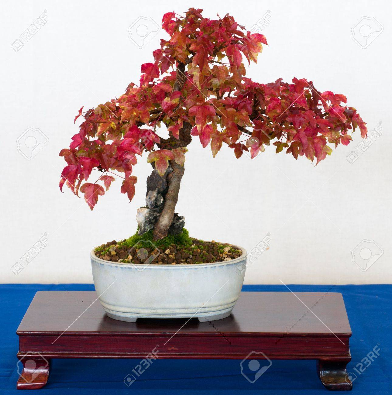 Maple Tree Acer Buergerianum As Bonsai Stock Photo Picture And