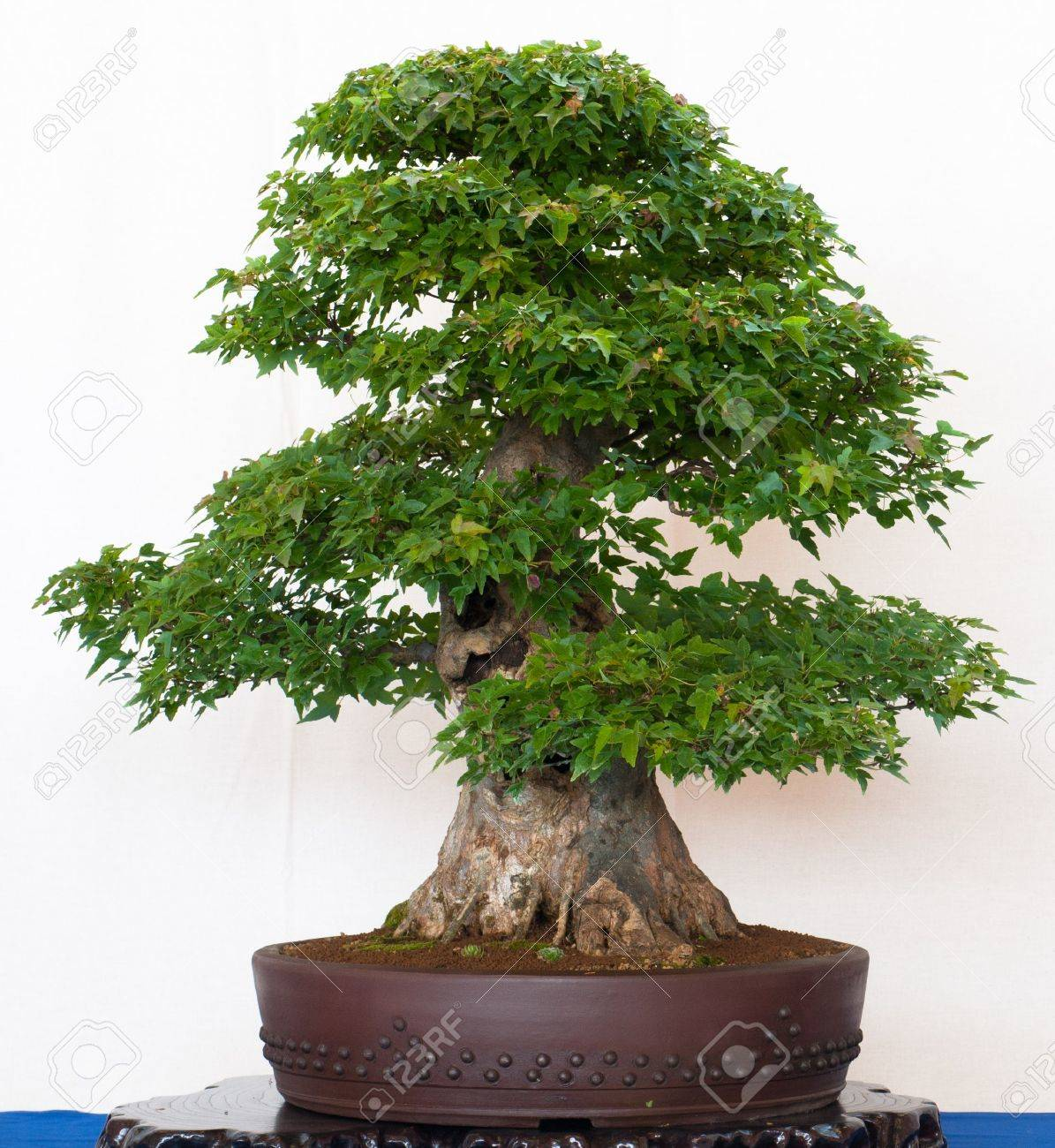 Old Japanese Maple Tree Acer Buergerianum As Bonsai Stock Photo