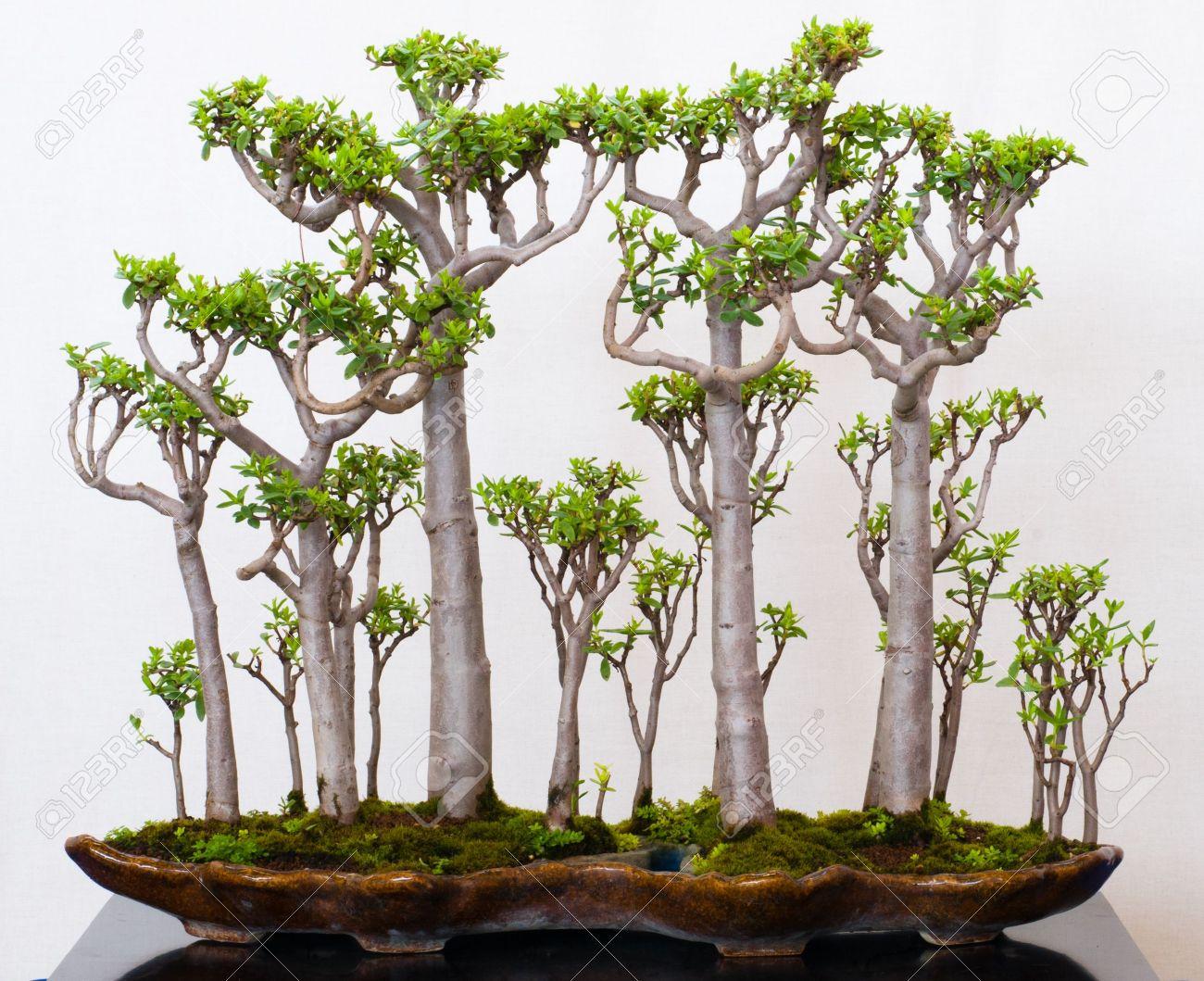 Crassula sarcocaulis as bonsai forest in a pot - 8018779