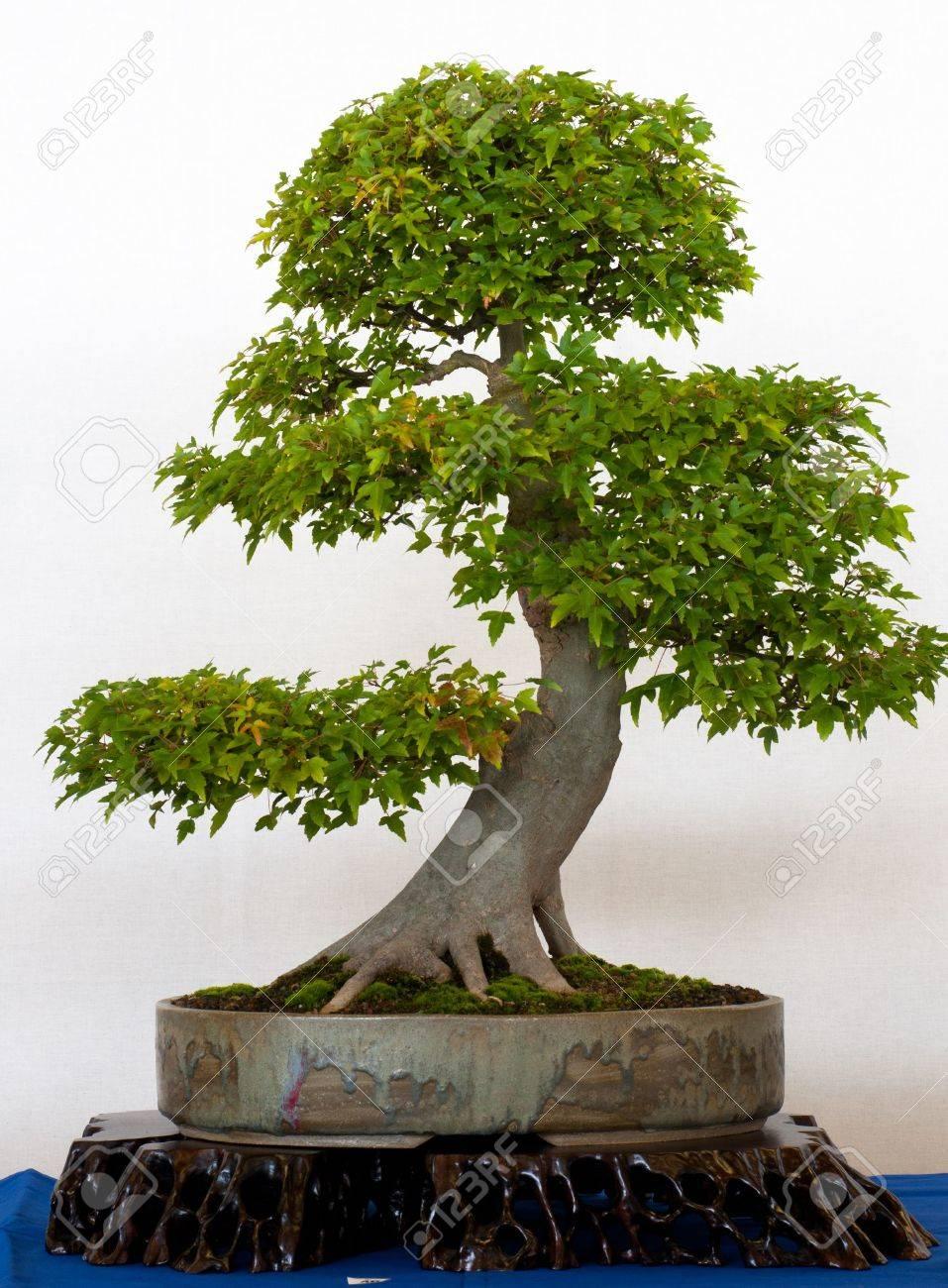 Viejo árbol De Arce Acer Buergerianum Como Bonsai Fotos Retratos