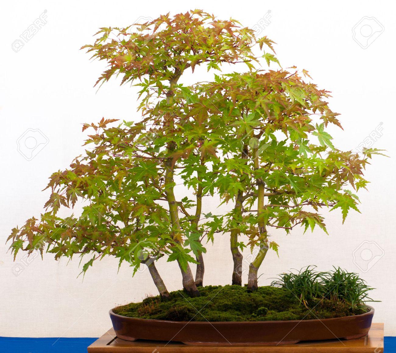 Japnaese árboles De Arce Acer Palmatum Como Bonsai Bosque En Una