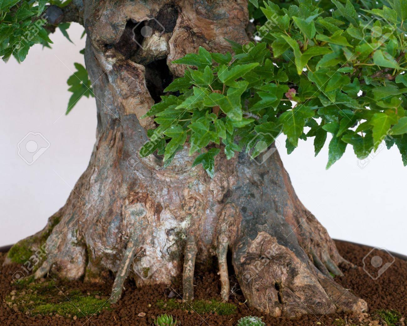 Tronco Nebari De Un árbol De Arce Acer Buergerianum Como Bonsai