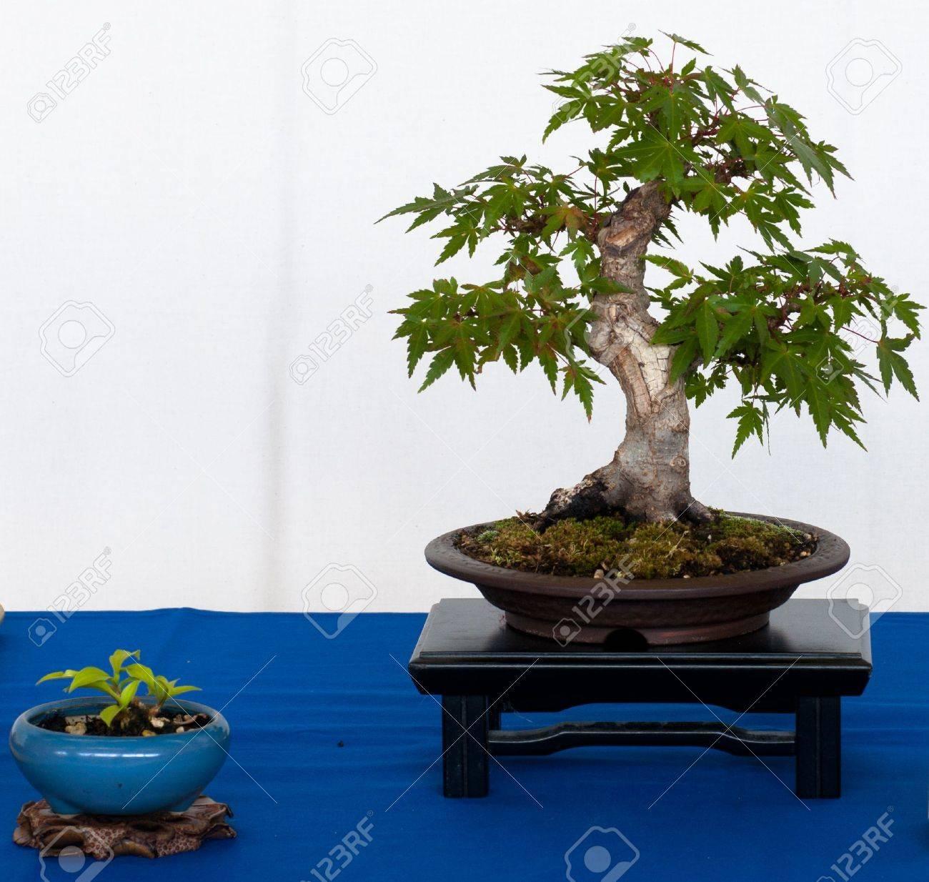Japanese Maple Tree Acer Palmatum Kiyohime As Shohin Bonsai