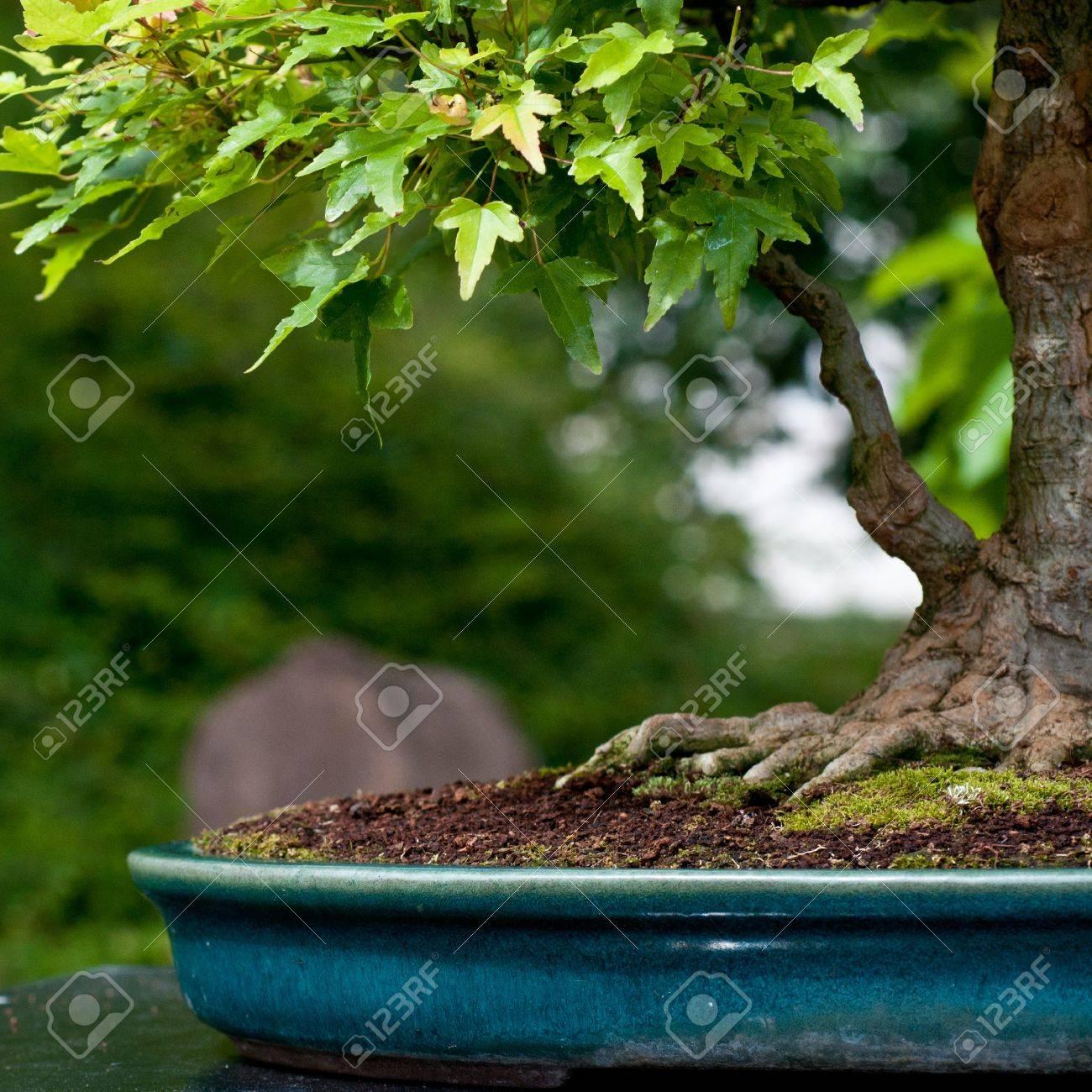 Acer Buergerianum De árbol De Arce Como árbol Bonsai Fotos Retratos