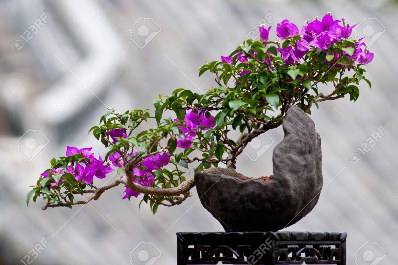 Blossom Of A Bougainvillea As Bonsai Tree Stock Photo Picture And Royalty Free Image Image 9964620