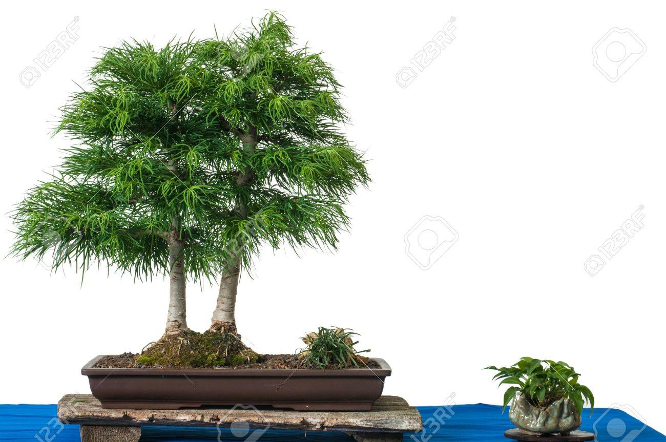 Golden Larch As Bonsai Tree Is White Isolated Stock Photo Picture And Royalty Free Image Image 14155368