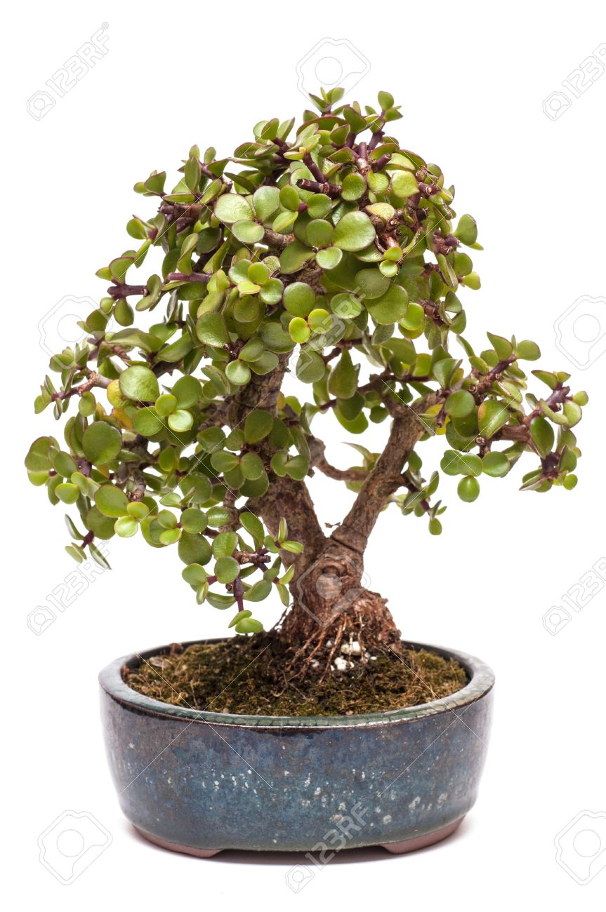 Dwarf Jade Plant Portulacaria Afra As Bonsai Tree Stock Photo Picture And Royalty Free Image Image 16439342