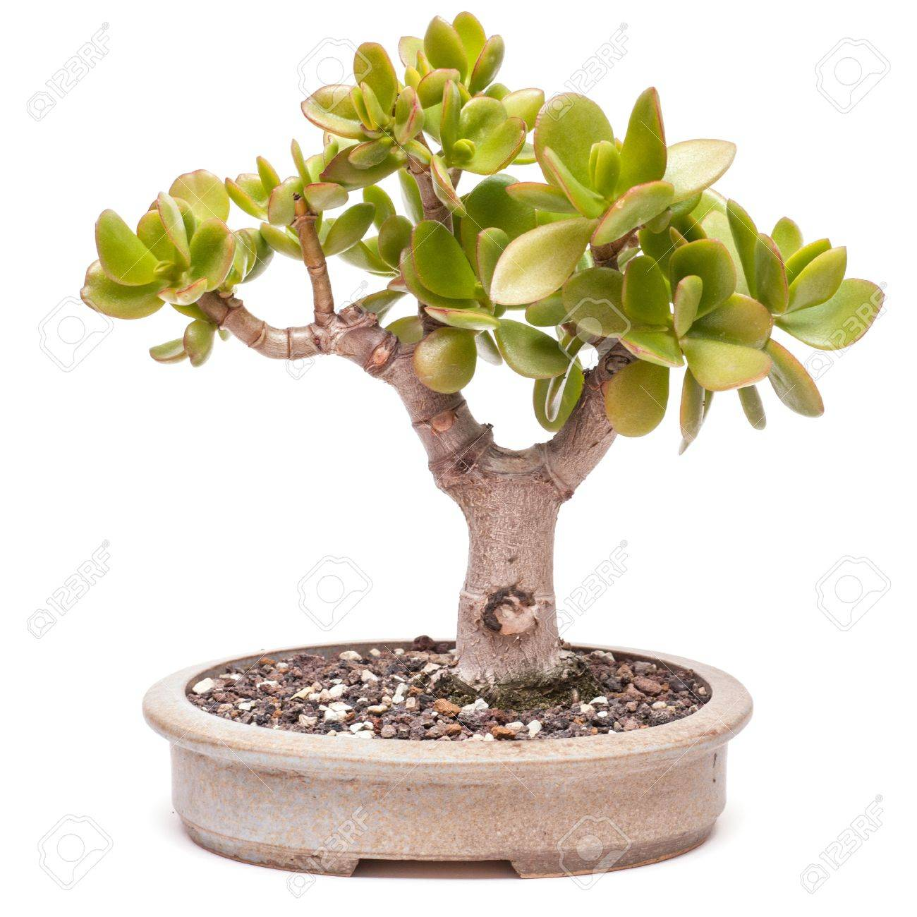 Money Tree (Crassula Ovata) In A Pot As Bonsai Stock Photo ...