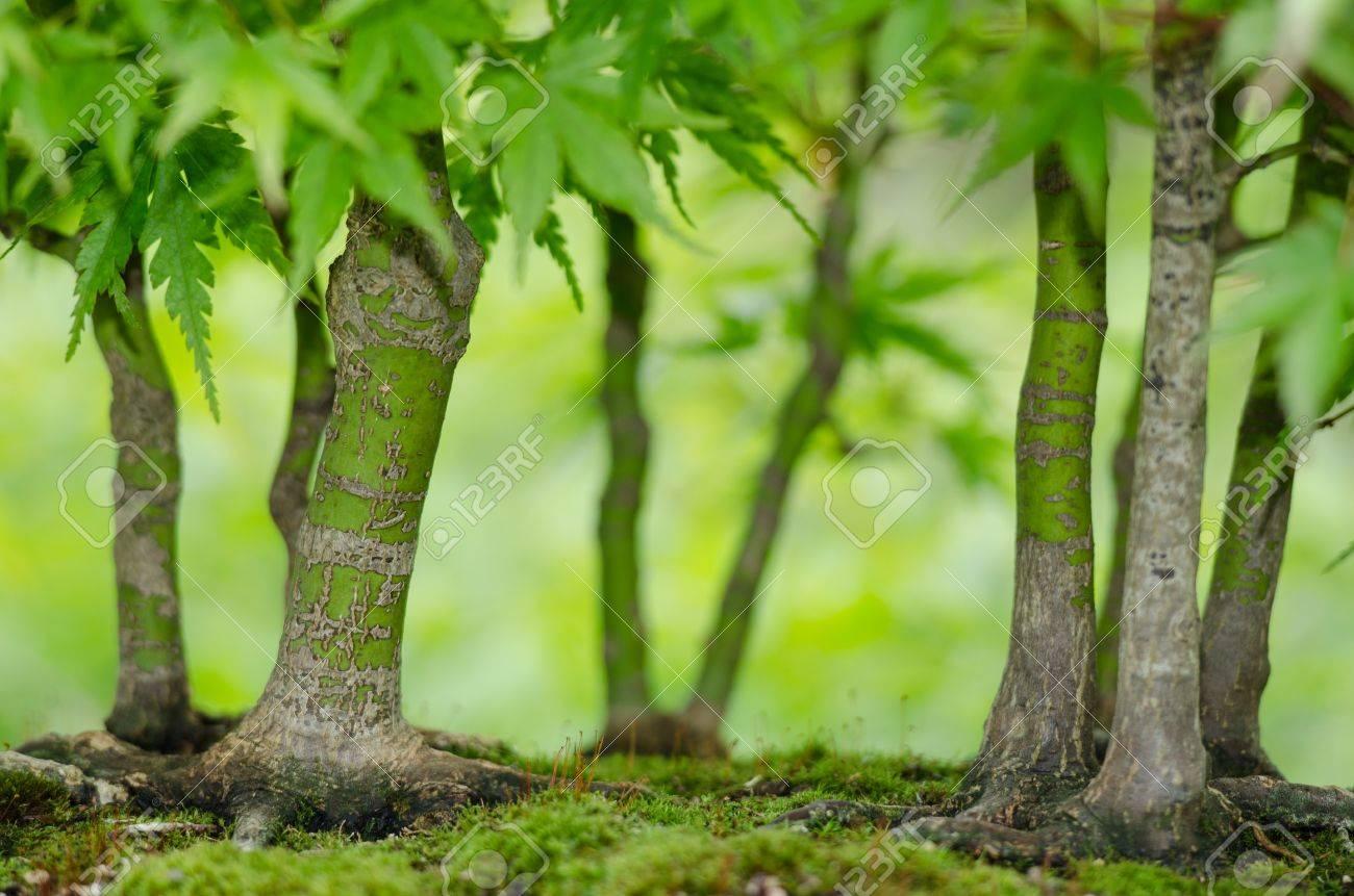 Arce Japonés árboles Acer Palmatum Como Bosque Bonsai Fotos