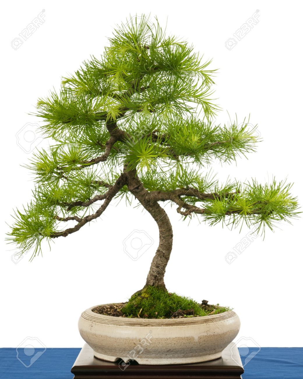 Green European Larch Larix Decudia As Bonsai Tree In A Pot Stock Photo Picture And Royalty Free Image Image 21593730