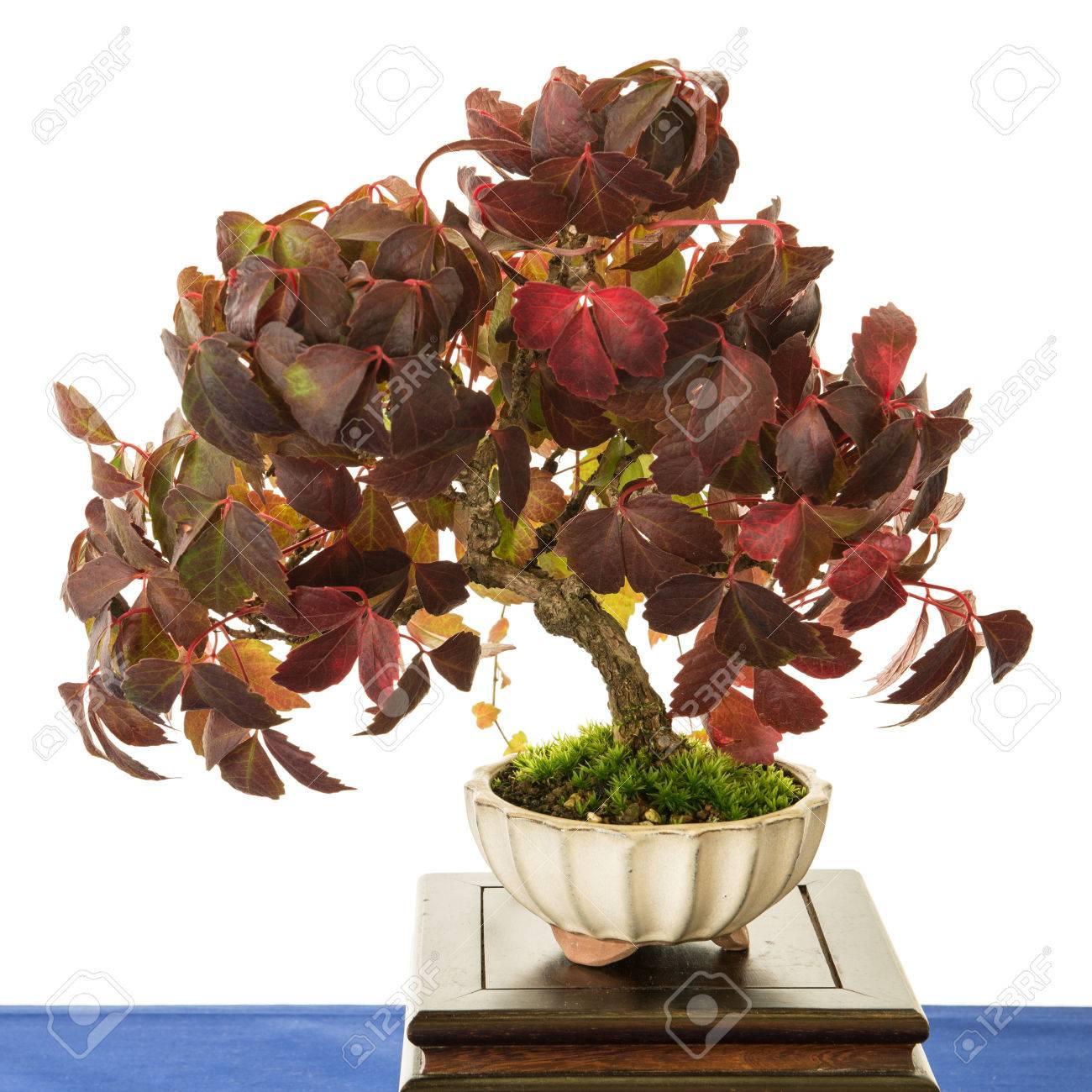 Weiß Isoliert Gemeinsame Traube Reben Bonsai-Baum (Vitis Vinifera ...