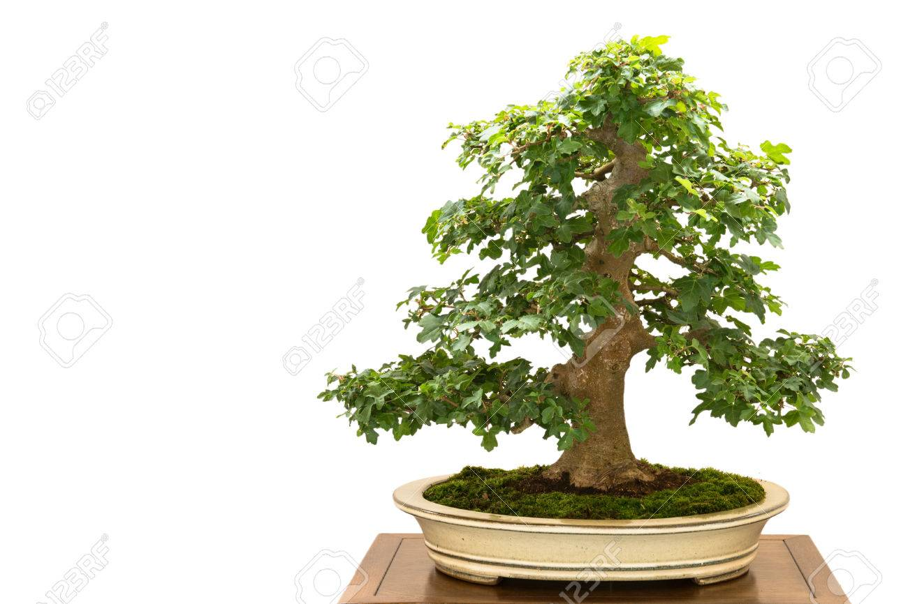 White Isolated Field Maple Acer Campestre As Bonsai Tree Stock