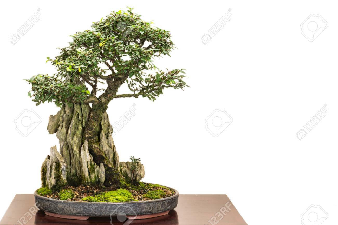 Chinese Elm Ulmus Parvifolia As Bonsai Tree Is Growing Over Stock Photo Picture And Royalty Free Image Image 73633465