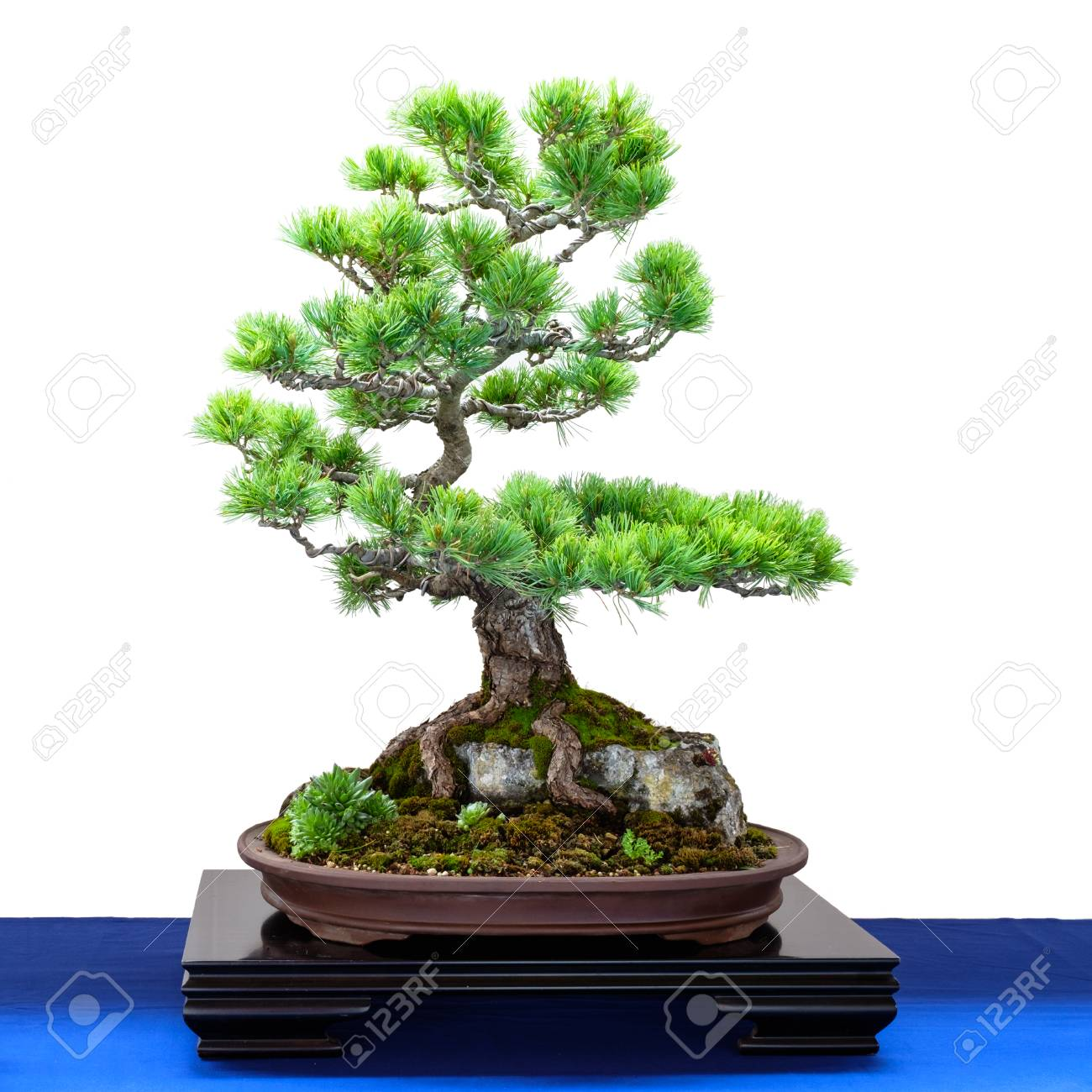Japanese Five Finger Pine Pinus Parviflora Conifer As Bonsai Stock Photo Picture And Royalty Free Image Image 88079401