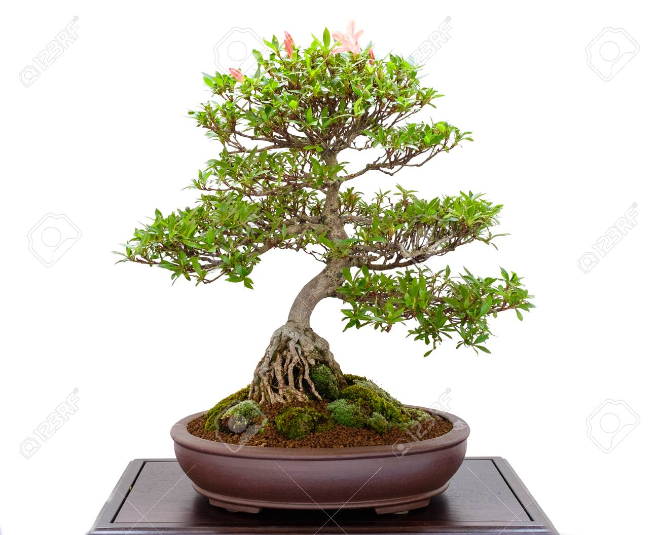 Bonsai Tree Azalea Rhododendron Indicum With Pink Flowers Stock Photo Picture And Royalty Free Image Image 88079402