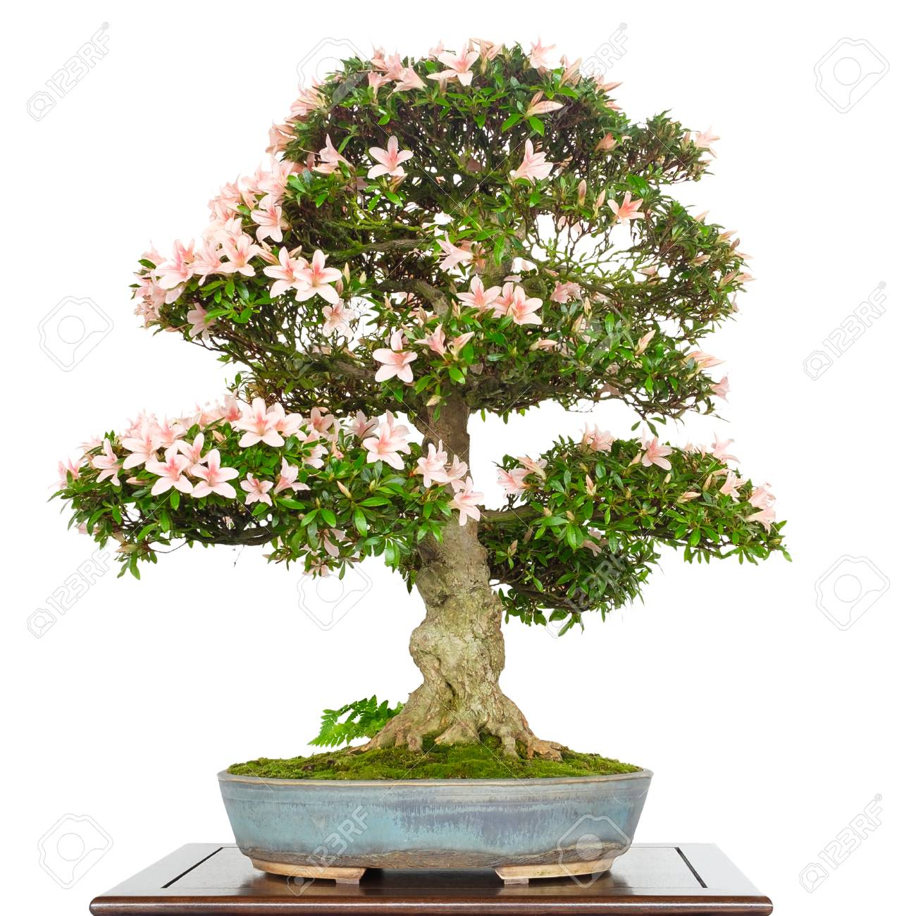 Azalea Rhododendron As Bonsai Tree With Pink Flowers And Old Stock
