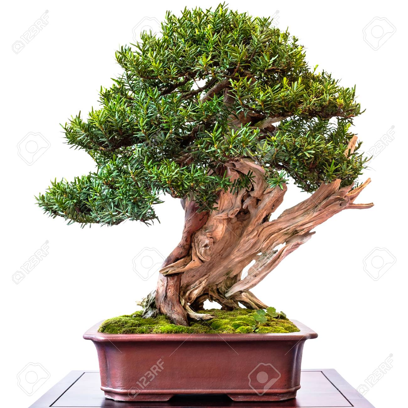 Conifer Yew Taxus Cuspidata As Bonsai Tree With Old Deadwood Stock Photo Picture And Royalty Free Image Image 90460508