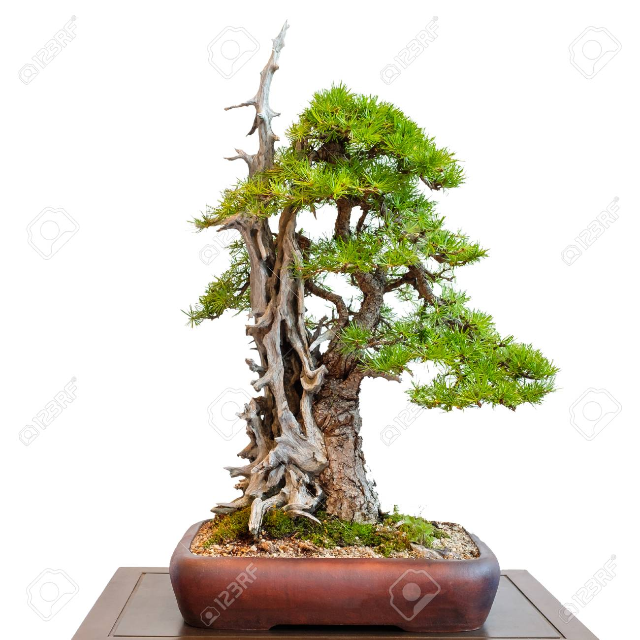 White Isolated Old Conifer Larch With Dead Wood As Bonsai Tree Stock Photo Picture And Royalty Free Image Image 89729297