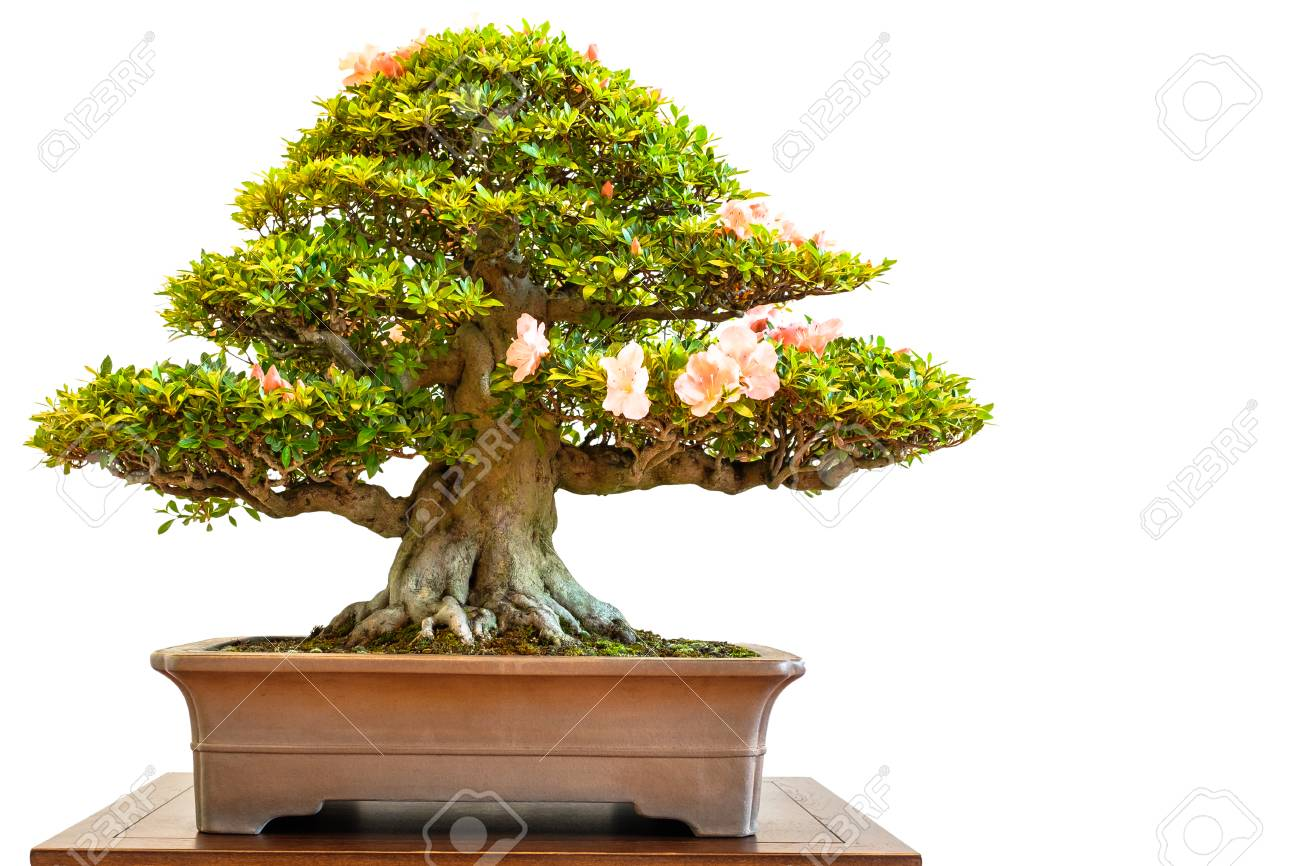 Old rhododendron bonsai tree with flowers white isolated stock photo old rhododendron bonsai tree with flowers white isolated stock photo 89729302 mightylinksfo