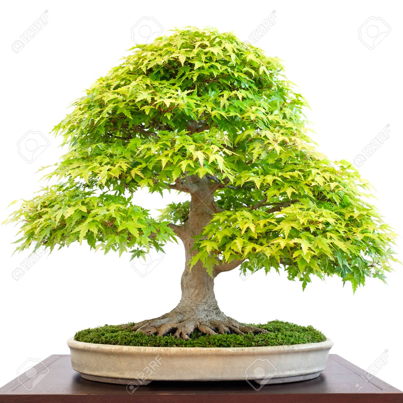 Old Deciduous Bonsai Tree Maple Acer Palmatum Tree With Green