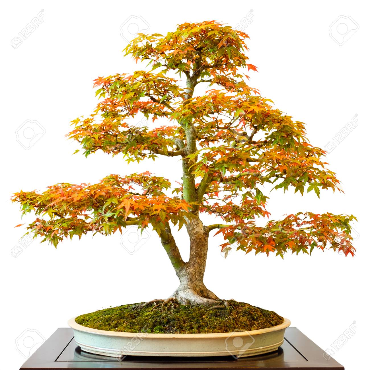 Maple Tree Acer Palmatum As Bonsai White Isolated Stock Photo